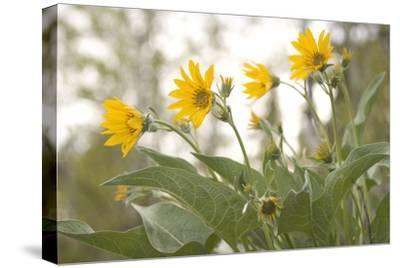 Arrowleaf Balsam Root, Balsamorhiza Sagittata, Flowers Grow in Grand Teton National Park
