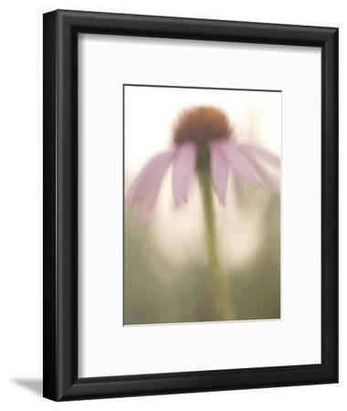 Artistic Close Up of a Purple Coneflower Plant Shot in the Grasslands