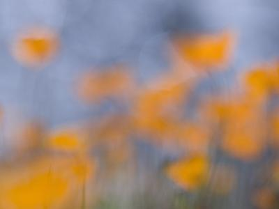 Artistic Shot of California Poppies Growing in the Foothills