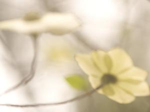 Artistic Shot of Flowers of the Pacific Dogwood Tree in Spring by Phil Schermeister