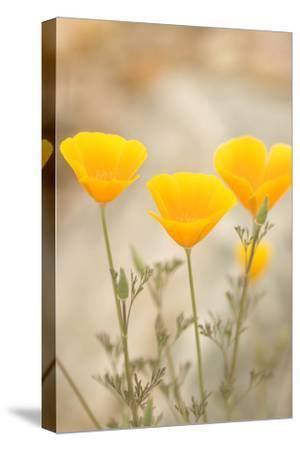 California Poppies, Eschscholzia Californica, Grow in Bear Valley in Pinnacles National Park