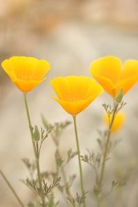 California Poppies, Eschscholzia Californica, Grow in Bear Valley in Pinnacles National Park by Phil Schermeister