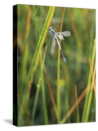Close-up of a Dragonfly in Little Yosemite Valley