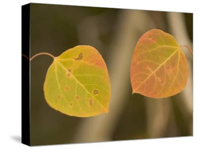 Close-up of Fall Quaking Aspen Leaves in Stanislaus National Forest