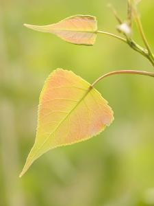 Close Up of New Leaves Growing on a Plains Cottonwood Tree by Phil Schermeister
