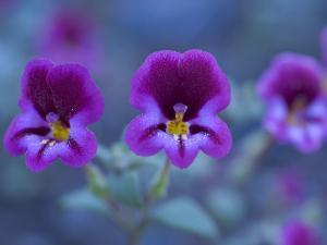 Close Up of Purple Wildflowers Growing in Western Yosemite Park by Phil Schermeister