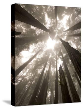 Coast Redwood Trees, Sequoia Sempervirens, in Fog
