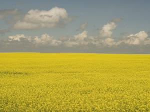 Field of Canola Plants with Yellow Flowers Shot in the Grasslands by Phil Schermeister