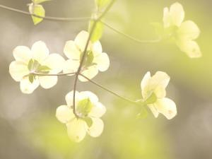 Flowers Bloom on the Pacific Dogwood Tree in Spring by Phil Schermeister