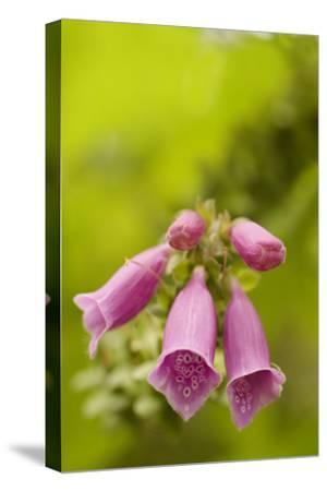 Foxglove Flowers Grow in Oregon Dunes National Recreation Area