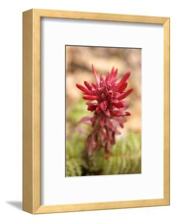 Indian Warrior, Pedicularis Densiflora, Flowers Grow in Pinnacles National Park