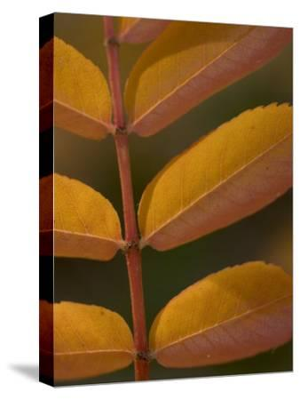 Magnification of Colorful Sumac Leaves in the Fall
