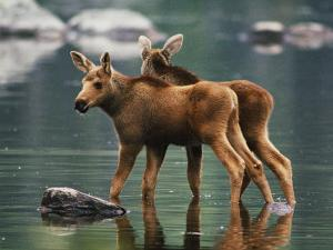 Moose Twins Stand in the Shallow Water of a Pond by Phil Schermeister