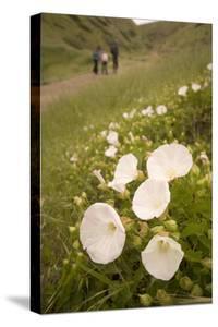 Morning Glory Flowers Grow on Santa Cruz Island by Phil Schermeister