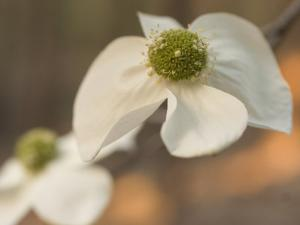 Pacific Dogwood Bloom in Spring in the Stanislaus National Forest by Phil Schermeister