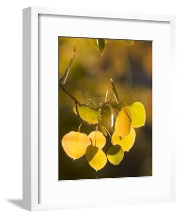 Quaking Aspen Leaves in Fall Backlit by Sunlight