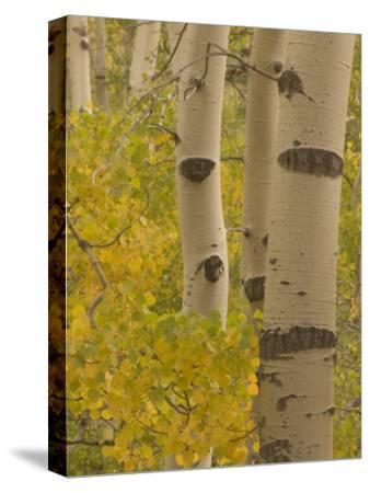 Quaking Aspen Trees in Fall in the Stanislaus National Forest
