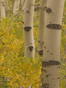 Quaking Aspen Trees in Fall in the Stanislaus National Forest by Phil Schermeister