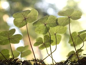 Redwood Sorrel Plants, Oxalis Oregana, in the Forest by Phil Schermeister