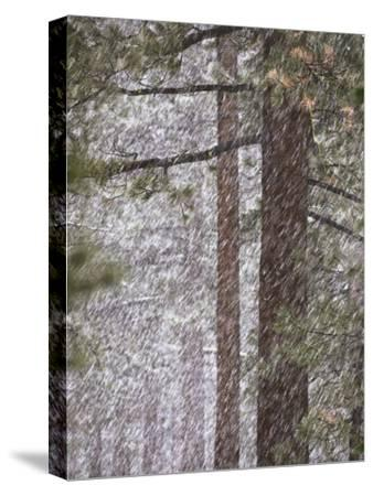 Snow Veils Conifer Trees Near Spooner Lake