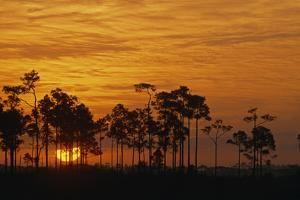 Sunrise Silhouettes Trees in a Pineland Area of the Everglades by Phil Schermeister