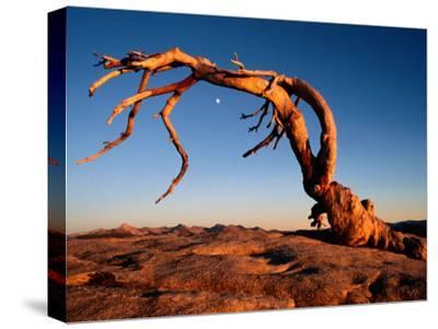 Twilight View of a Jeffrey Pine Tree (Pinus Jeffreyi)