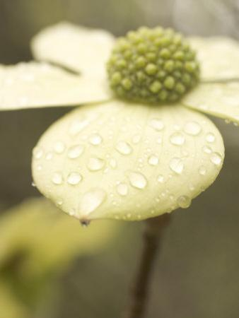 Water Drops Cling to Flowers of the Pacific Dogwood Tree in Spring by Phil Schermeister