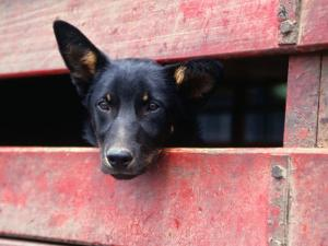 Cattle Dog in Back of Truck, Victoria, Australia by Phil Weymouth