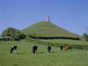 Cattle Grazing in Front of Glastonbury Tor, Glastonbury, Somerset, England, UK, Europe by Philip Craven