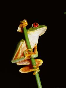 Red Eyed Tree Frog (Agalythnis Callidryas), South America by Philip Craven