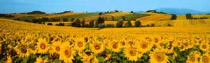 Sunflowers Field - Umbria by Philip Enticknap