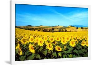 Sunflowers Field, Umbria by Philip Enticknap