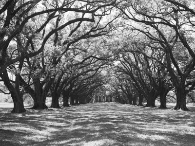 Arched Path of Trees on Plantation Site by Philip Gendreau