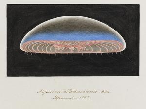 Aequorea Forbesiana: Jellyfish, 1852 by Philip Henry Gosse