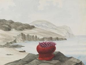 Anemone by Philip Henry Gosse