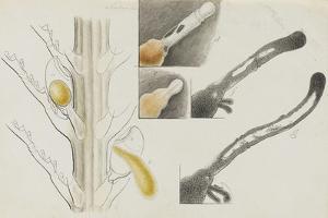 Antennularia: Hydrozoan by Philip Henry Gosse