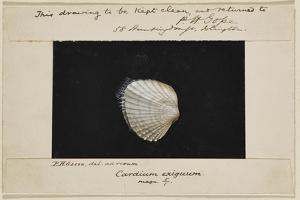 Cardium Exiguum: Angled Cockle by Philip Henry Gosse