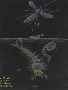 Culex: Mosquito by Philip Henry Gosse