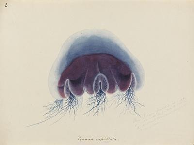 Cyanea Capillata: Lion's Mane Jellyfish