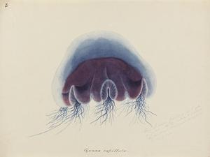 Cyanea Capillata: Lion's Mane Jellyfish by Philip Henry Gosse