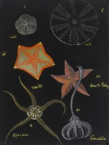 Echinoderms by Philip Henry Gosse