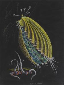 Pecten Opercularis - Scallop by Philip Henry Gosse