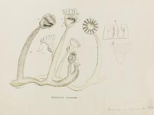 Pedicellina Belgica by Philip Henry Gosse