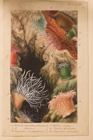 Plate Vi, Study for 'Actinologia Britannica: a History of the British Sea Anemones and Corals',…