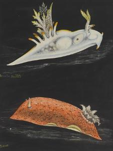 Sea Slugs by Philip Henry Gosse