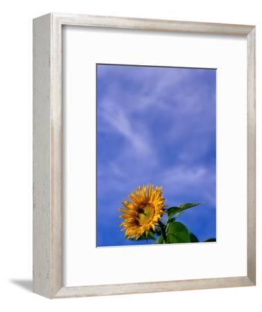 Sunflower Under Sky