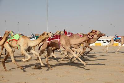 Racing Camels with a Robot Jockeys, Dubai, United Arab Emirates