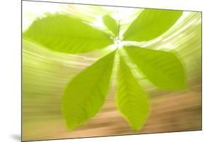 Leaves of the Pawpaw Plant, Asimina Triloba, in Congaree National Park by Philip Schermeister