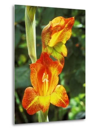 Gladiolus Psittacinus