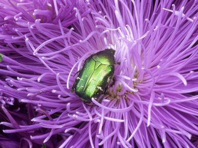 Rose Chafer (Cetonia Aurata) Green Beetle on Chrysanthemum Flower